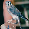 Educational Non-Releaseable American Kestral at The Wildlife Center of VA - Waynesboro, VA  8-24-03