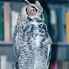 Great Horned Owl - The Wildlife Center of Virginia - Waynesboro  2-25-01