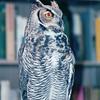 Great Horned Owl - The Wildlife Center of Virginia - Waynesboro  2-25-01
