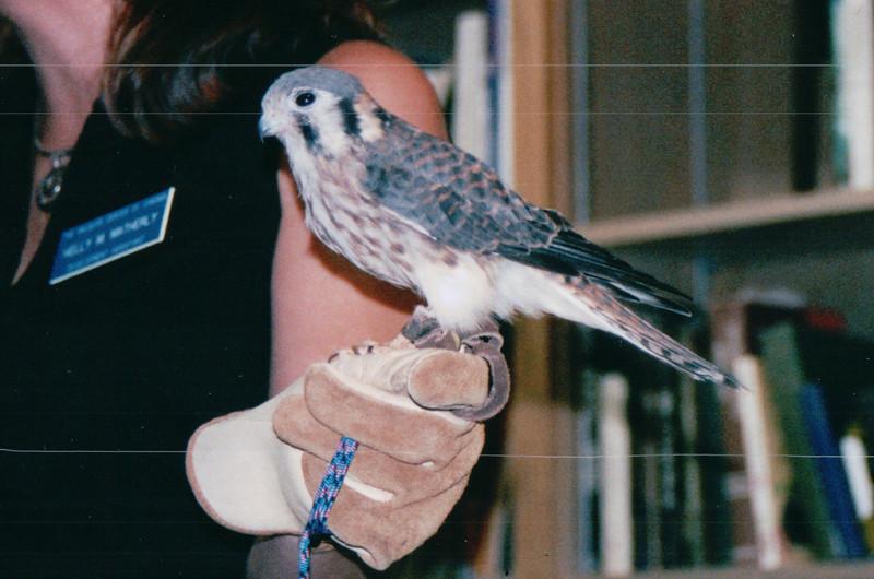 Educational Non-Releaseable American Kestral at The Wildlife Center of VA - Waynesboro, VA  8-24-03