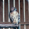 Non-Releaseable Red-tailed Hawk - The Wildlife Center of Virginia - Waynesboro  2-25-01