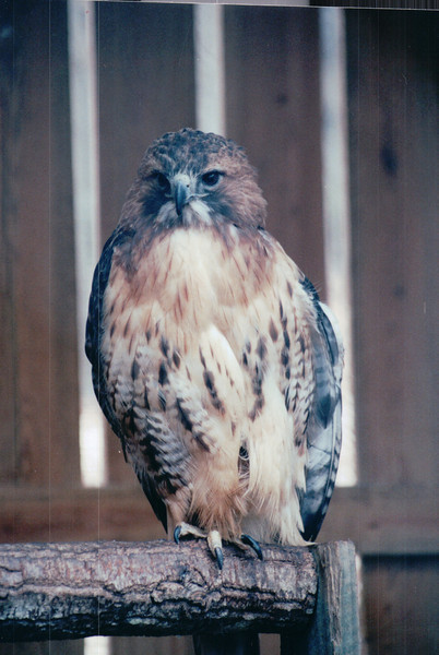 Red-tailed Hawk - The Wildlife Center of Virginia - Waynesboro  2-25-01