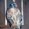 Red-tailed Hawk - The Wildlife Center of Virginia - Waynesboro  2-25-01