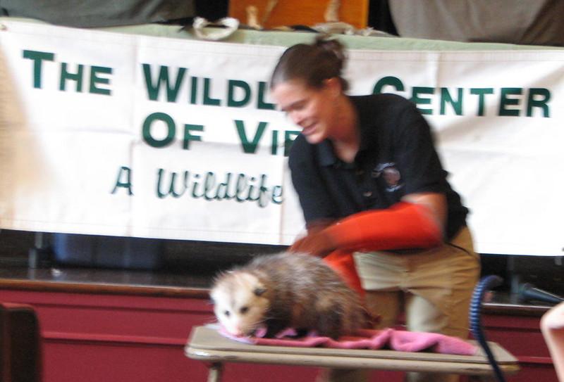Natty, a Virginia Opossum  - Presented at Carysbrook, Palmyra, VA