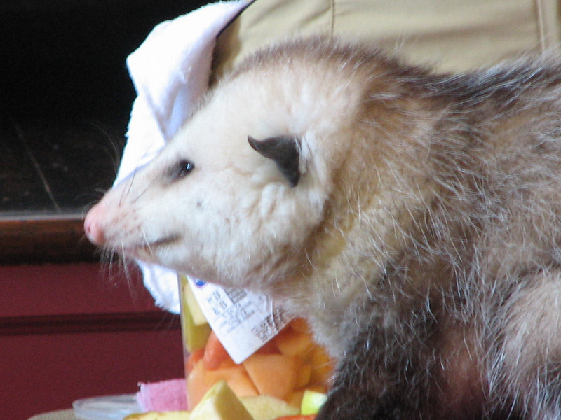 Natty, the Opossum is a Bit Chunky Being Fed For Performances  - Presented at Carysbrook, Palmyra, VA