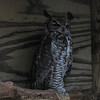Buzz, Great Horned Owl  [Bubo virginianus] - The Wildlife Center, Lyndhurst, VA  10-18-09
