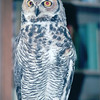 Non-Releaseable Great Horned Owl - The Wildlife Center of Virginia - Waynesboro  2-25-01
