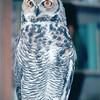 Non-Releaseable Great Horned Owl - The Wildlife Center of Virginia - Waynesboro  2-25-01