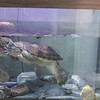 Spike, a Common Snapping Turtle - Chelydra serpentina - The Wildlife Center, Lyndhurst, VA  10-18-09