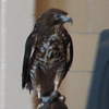 Kettler, the Broad-winged Hawk  - Presented at Carysbrook, Palmyra, VA