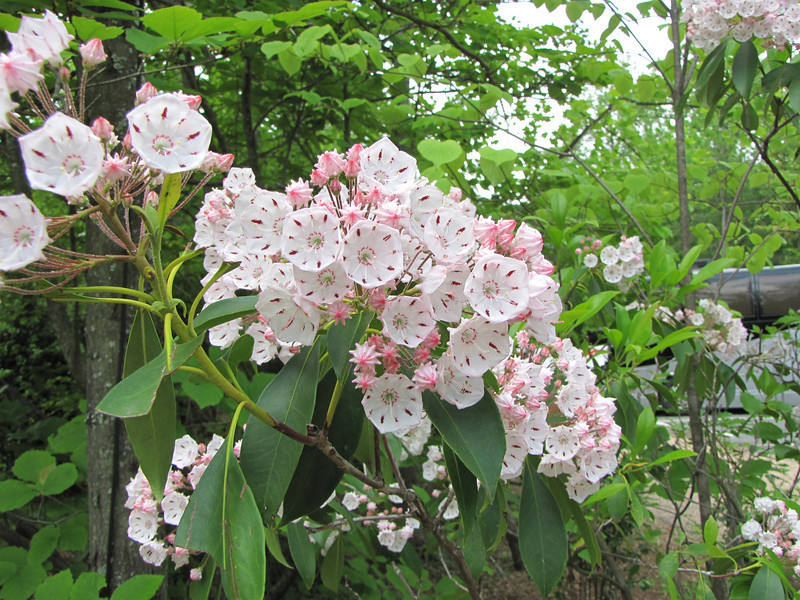 Mountain Laurel - Monticello, Charlottesville, VA