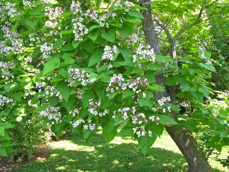 Closer View of the Flowering Tree - Tuckahoe, Thomas Jefferson's Boyhood Home - Richmond, VA