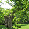 """Huge Tree Mostly Dead Still Has Life - Tuckahoe, Thomas Jefferson's Boyhood Home - Richmond, VA<br /> What a story it tells to those battling life's circumstances.  We can still """"bloom"""" where we're planted."""