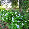 Hydrangeas - Tuckahoe, Thomas Jefferson's Boyhood Home - Richmond, VA