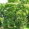 Tall Tree Blooming With Beautiful and Aromatic Flowers - Tuckahoe, Thomas Jefferson's Boyhood Home - Richmond, VA