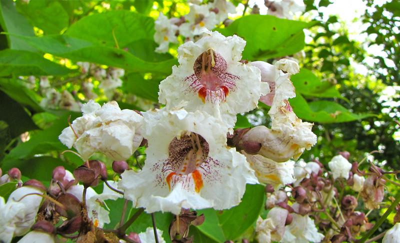 Gorgeous Flower on This Tree - Tuckahoe, Thomas Jefferson's Boyhood Home - Richmond, VA