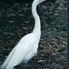 Snowy Egret - Marine Science Museum - Virginia Beach, VA 3-2-02