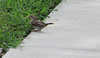 Sparrow on Sidewalk as We Arrived at Virginia Museum of Fine Arts (VMFA)