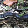 Closeup of Black Rat Snake - Waller Mill Park - Williamsburg, VA