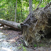 Large Uprooted Tree - Waller Mill Park - Williamsburg, VA<br /> The root structure on trees always amazes me.  So much stability but yet it has fallen.  Sandy soils provide much less stability I guess.