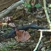 Black Rat Snake - Waller Mill Park - Williamsburg, VA<br /> A little over three (3) feet long.