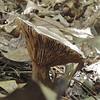 Underside of Mushroom in Forest - Waller Mill Park - Williamsburg, VA