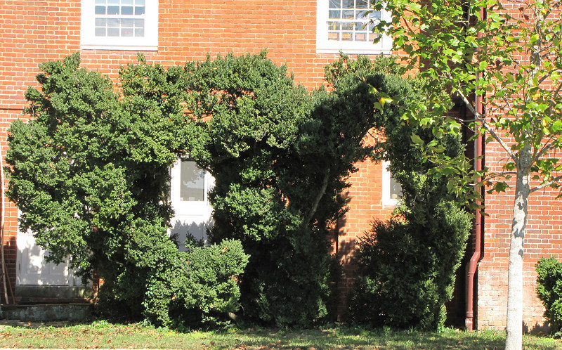 Interesting Shape of Boxwoods on the West Wing Connection - Westover Plantation - Charles City, VA  10-23-10<br /> Possibly shaped this way to  provide views of the river from the windows without removing the ancient boxwoods.