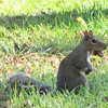 Squirrel With Acorn in Mouth - Westover Plantation - Charles City, VA  10-23-10