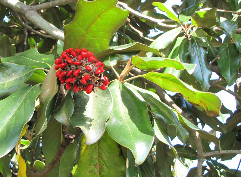 Magnolia Tree Fruit Berries - Westover Plantation - Charles City, VA  10-23-10