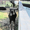 Buttercup, A Nubian Goat - White Oak Lavender Farm - Harrisonburg, VA  7-2-11