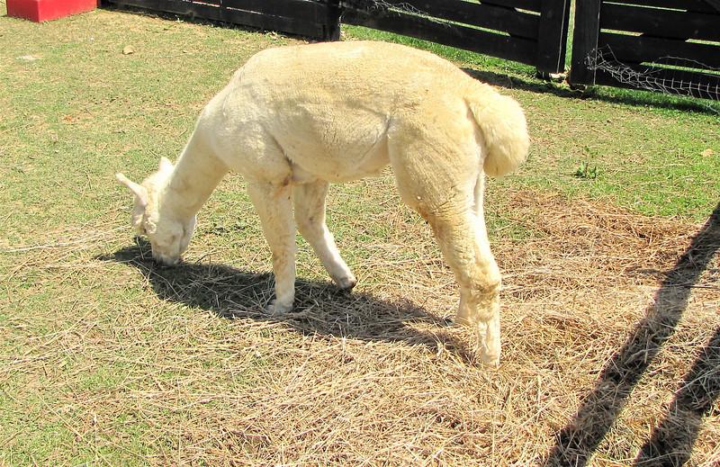 Avalanche, An Alpaca - White Oak Lavender Farm - Harrisonburg, VA  7-2-11