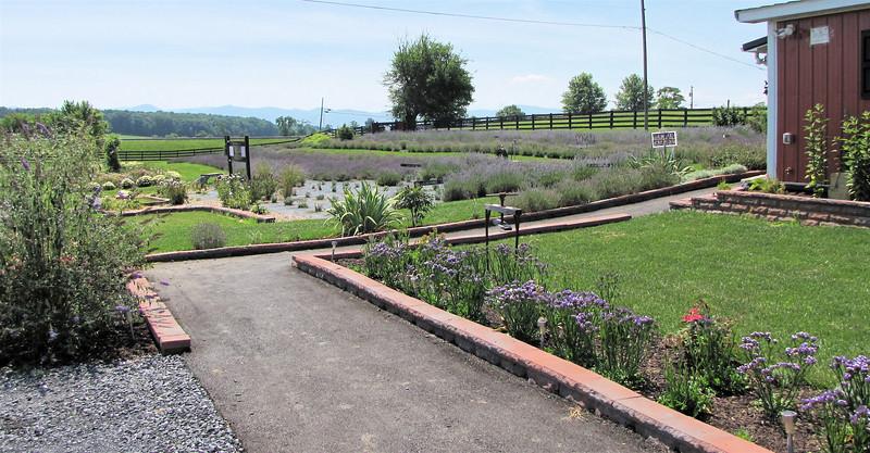 View of the Lavender Fields and Gift Shop Corner - White Oak Lavender Farm - Harrisonburg, VA  7-2-11
