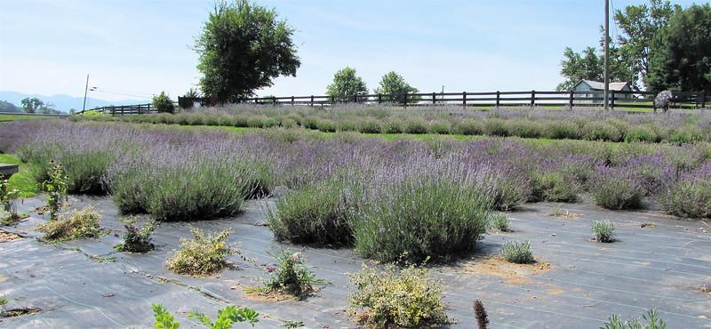 Different Varieites of Lavender - White Oak Lavender Farm - Harrisonburg, VA  7-2-11