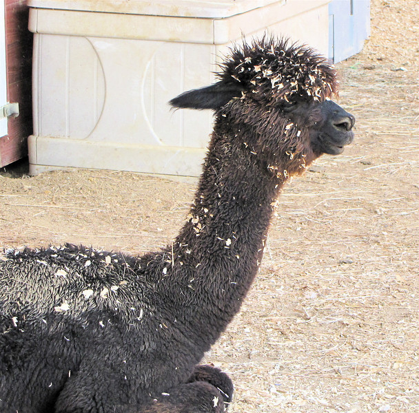 Tucker An Alpaca - White Oak Lavender Farm - Harrisonburg, VA  7-2-11<br /> They like to play in the wood shavings.