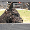Blade, An Alpaca - White Oak Lavender Farm - Harrisonburg, VA  7-2-11<br /> They like to play in the wood shavings.