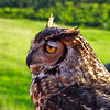 Quinn, Great Horned Owl - The Wildlife Center Benefit at Carter Mountain Orchard, Charlottesville, VA  6-9-12