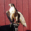 "Chayton, Peregrine Falcon - The Wildlife Center Benefit at Carter Mountain Orchard, Charlottesville, VA  6-9-12<br /> Chayton was found on the ground with wounds to his right wing.  There was fractures of the major and minor metacarpals – essentially, the equivalent of the ""hand"" bones in humans.  Due to the severity of the injury, the falcon is unable to fly well enough to be released."