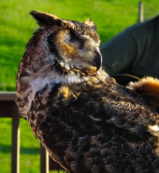 Quinn, Great Horned Owl - The Wildlife Center Benefit at Carter Mountain Orchard, Charlottesville, VA  6-9-12<br /> Quinn was found stuck in a fence and was admitted with injuries to both wings and his right eye.  Center veterinarians determined that his eye would need to be removed, and Quinn's flight feathers never grew in properly.