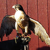 Chayton, a Peregrine Falcon - The Wildlife Center Benefit at Carter Mountain Orchard, Charlottesville, VA  6-9-12<br /> This was his first educational event.  As you can see, he was looking to the skies and really wanting to take off to those mountain high thermal currents.