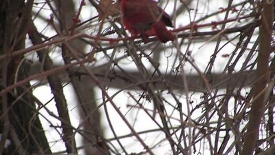 Northern Cardinal Calling