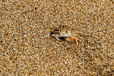 A very tiny crab emerges from its home in the sand
