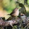 House Wren at Nativa