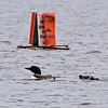 """Caution, Loon Chicks"", Lake Winnepeausaukee, NH"