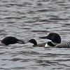 Common Loon Family, Lake Winnepeausaukee, NH