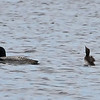 Common Loon and Chick, Lake Winnepeausaukee, NH