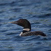 Common Loon, Lake Winnepeausaukee, NH