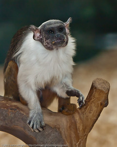 Bare-faced Tamarin
