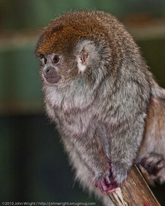 Bolivian Grey Titi Monkey