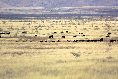 A herd of cattle graze in the distance ...
