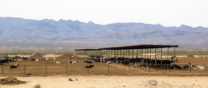 ... and we pass a large cattle pen later on.